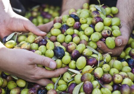 Olives in four hands. sicily Stock Photo - 16986039