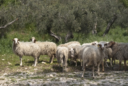 A flock of sheep grazes on a green field somewhere in Sicily, Italy Stock Photo - 17097825