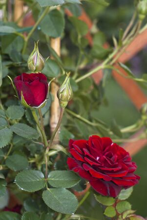 Red rosebud on the Branch in the Garden photo
