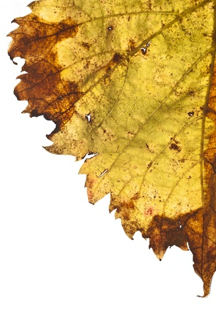 grapevine leaf isolated on white background photo
