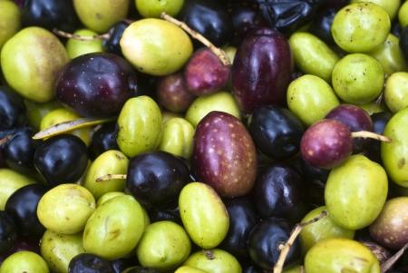 sicilian olives background. olives picking Stock Photo - 18992257