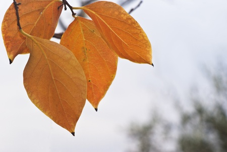 ebenaceae: orange persimmon leaves in autumn Stock Photo