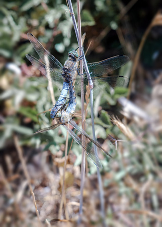 flit: dragonfly mating in the natural park of nebrodi. sicily Stock Photo