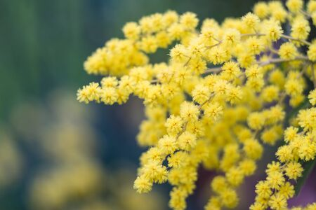 Close-up of mimosas yellow spring flowers on defocused background. Very shallow depth of field. Selective focus. Archivio Fotografico