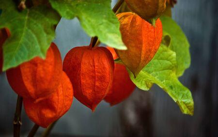 deep orange alkekengi. chinese lantern plant