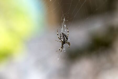 Cross Spider (Araneus diadematus). Dolomiti mountain, Italy