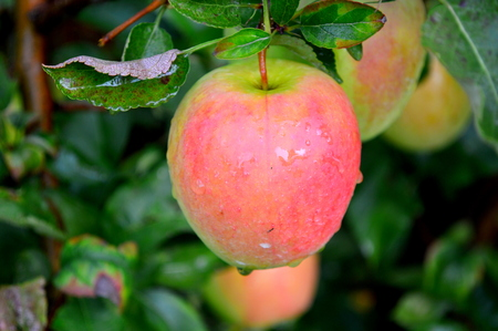 Golden Pink Apple - This Photo was taken at Jonamac Apple Orchard in Malta, Illinois Reklamní fotografie