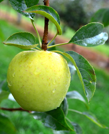 Riverbelle Apple - This Photo was taken at Jonamac Apple Orchard in Malta, Illinois
