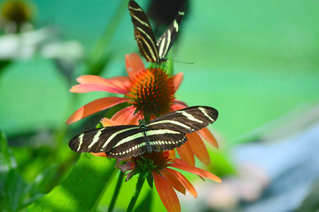 longwing: Zebra longwing Butterfly - This photo was taken at botanical garden in Illinois