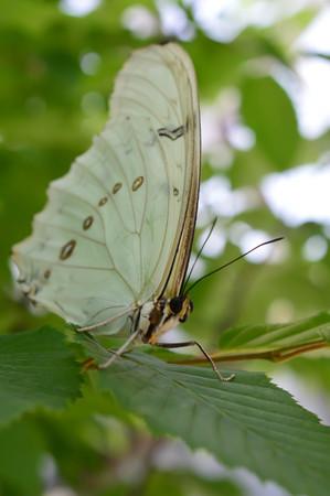 White Morpho Butterfly - This photo was taken at botanical garden in Illinois Stock Photo