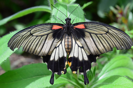 King Butterfly Closeup - This photo was taken at botanical garden in Illinois Stock Photo