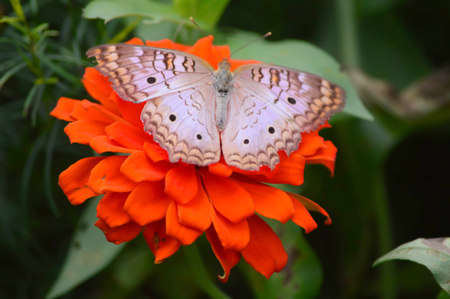 Snow Peacock Butterfly - This photo was taken at botanical garden in Illinois Stock Photo