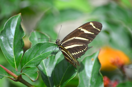 Zebra Longwing - This photo was taken at botanical garden in Illinois