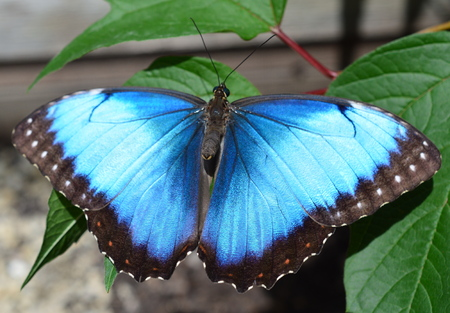 Blue Morpho Butterfly- This photo was taken at botanical garden in Illinois