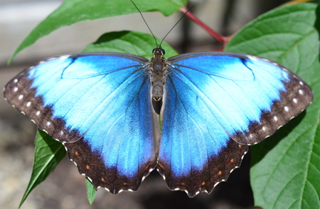 Blue Butterfly - This photo was taken at botanical garden in Illinois