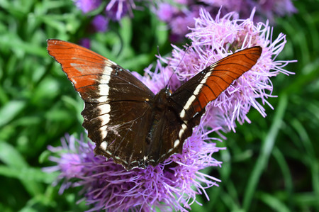 Red Admiral Butterfly - This photo was taken at botanical garden in Illinois Stock Photo