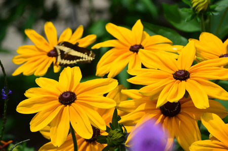 butterfly tail: Sunflower and Giant Swallow Tail Butterfly - This photo was taken at botanical garden in Illinois