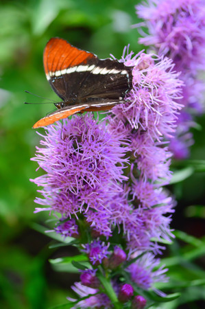 Red Admiral Butterfly on the purple  flower - This photo was taken at botanical garden in Illinois