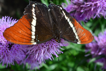 Red Admiral Butterfly  - This photo was taken at botanical garden in Illinois