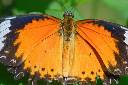Common Lacewing Butterfly - This photo was taken at botanical garden in Illinois