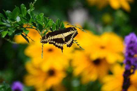 Giant Swallow Tail Butterfly and Sunflowers - This photo was taken at botanical garden in Illinois