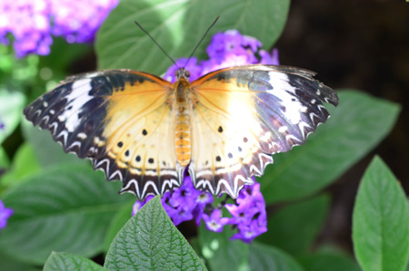 Leopard Lacewing Butterfly - This photo was taken at botanical garden in Illinois