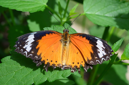 lacewing: Common Lacewing Butterfly - This photo was taken at botanical garden in Illinois