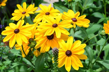 Sunflower Bloom Sunflower Bloom- This photo was taken at botanical garden in Illinois