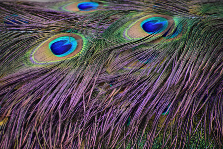 Peacock Eye Feathers Stockfoto