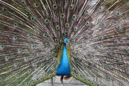 Blue Peacock With Colorful Open Feathers