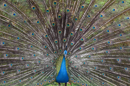 A beautiful peacock with open colorful feathers