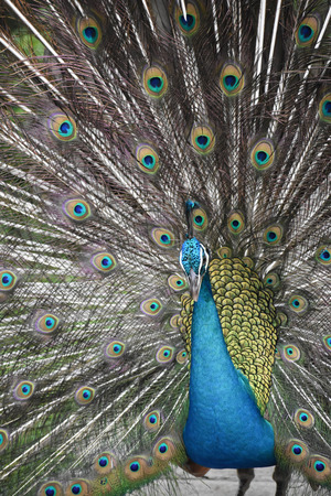 Peacock In Open Feathers Stock Photo