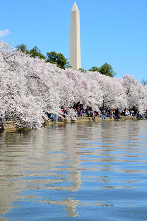 Washington DC, Columbia, USA - April 11, 2015: Cherry Blossom Spectacular of Washington D.C. Editorial