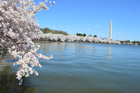 Washington DC, Columbia, USA - April 11, 2015: Washington Monument and cherry trees in bloom