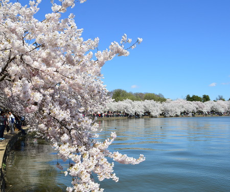 Cherry Blossom Season In Washington D.C. Stock Photo