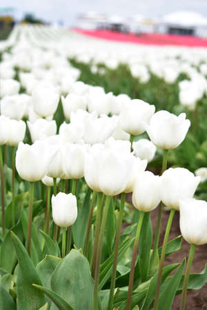 White Tulips at Wooden Shoe Tulip Festival in Woodburn Oregon