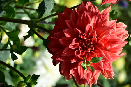 Gorgeous Dahlia Flower at flower show in Kodaikanal Tamil Nadu, India