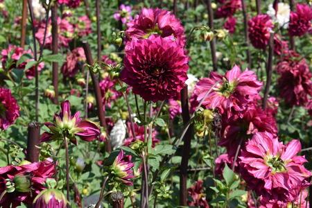 Hermosa flor de Dalia en la feria de flores en Kodaikanal Tamil Nadu, India