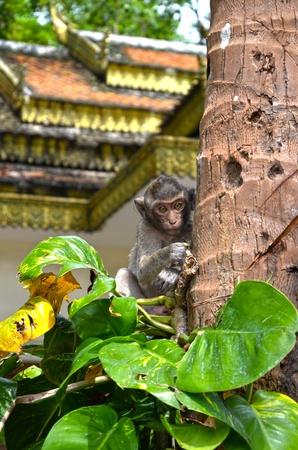 leu: Scimmia su un albero, Wat Leu Tempio, Cambogia, 09 12 2012