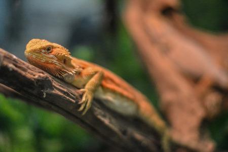 chameleon, cameleon