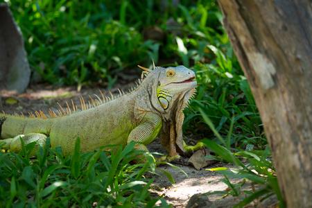 iguana Stock Photo