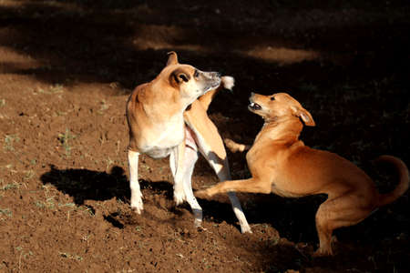 perros jugando: Dogs Playing Foto de archivo