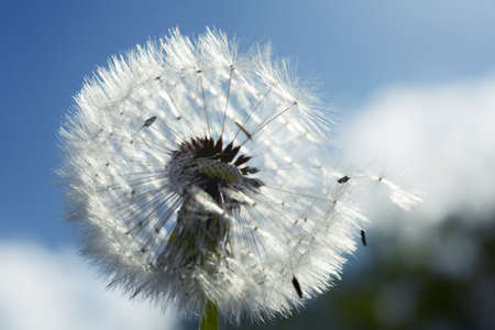 spores: Close up of dandelion spores blowing away Stock Photo