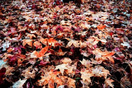hojas secas: hojas secas de otoño - colores de fondo Foto de archivo