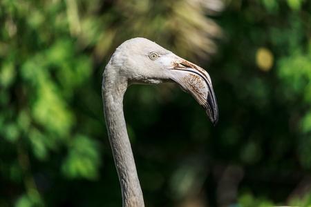 head shot of flamingo with bokeh background Zdjęcie Seryjne