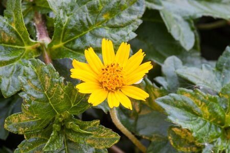 Yellow Flower and green leaf in natural , close up