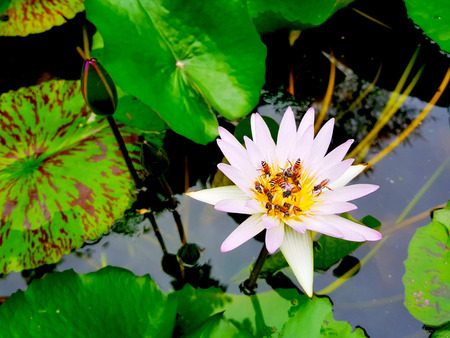Lotus flowers in pond with bee. Beautiful nuture background.