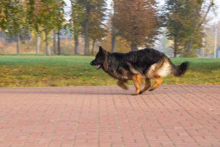German shepard dog. Kaluga region
