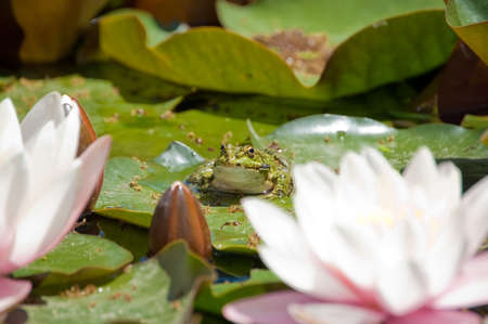 blossom lotus flower and frog