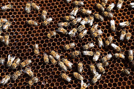 honeycombs with a swarm of bees making honey in an apiary. selective focus. Cross section of a wax hive texture filled with golden honey. Beekeeper, agriculture.